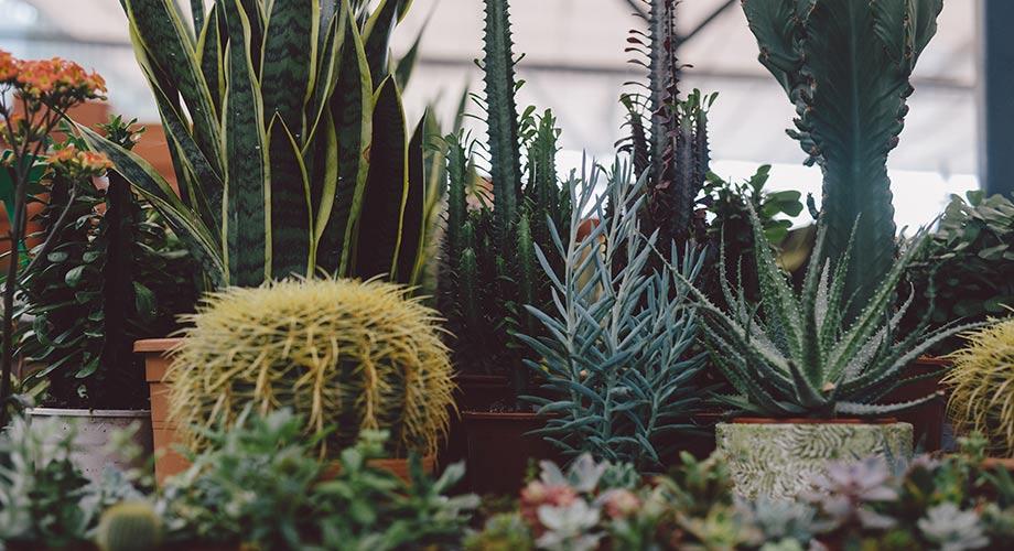 viveros-fadura-cactus-suculentas