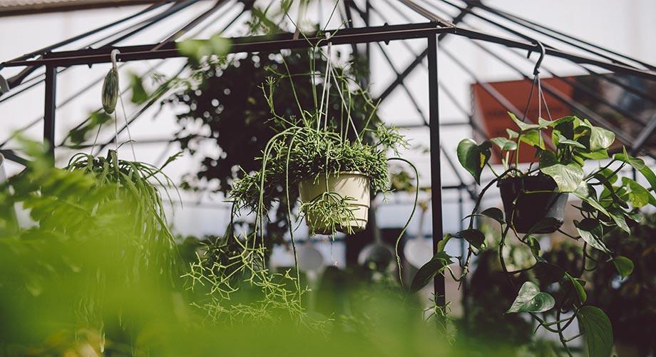viveros-fadura-plantas-colgantes