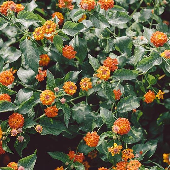 viveros-fadura-plantas-vivaces